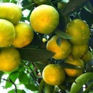 特早蜜橘大量供应,农户一手货,果面干净,口感好