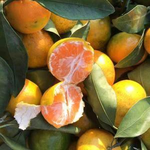 特早蜜橘大量供应,农户一手货,口感甜