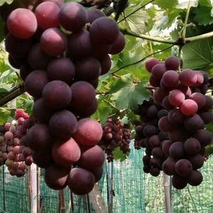 浦江忆嘉农场种植巨峰葡萄有20多亩,口感好,糖份足,串头...