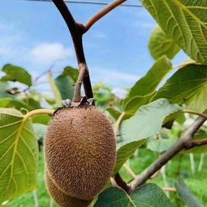 陕西宝鸡眉县徐香猕猴桃大量供货,一件代发,果园直销有需要...