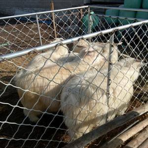 15841777109电话微信同步床上睡,出售大量绒山羊
