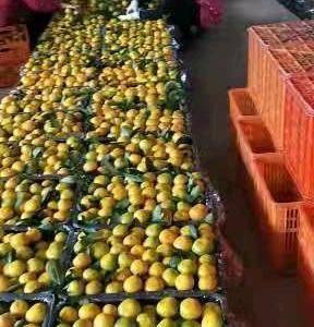 V15872639959  橘子 特早蜜橘大量上市