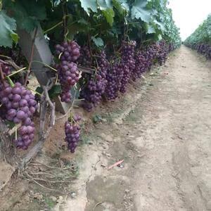 烟台龙口葡萄基地,主办巨峰葡萄、红宝石葡萄、克伦生葡萄。...