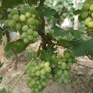 大量维多利亚葡萄已成熟,欢迎客商来定购批发