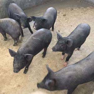 富源母猪繁育有限公司全国发货品种齐全财富热线158521...