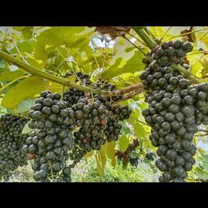 广西野生山葡萄成熟了寻找有能力的你,某园产量二百吨左右,...