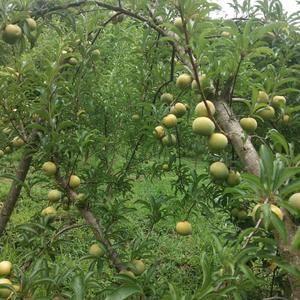 挂果枝条嫁接的蜂糖李子苗,品种纯正。联系电话187867...
