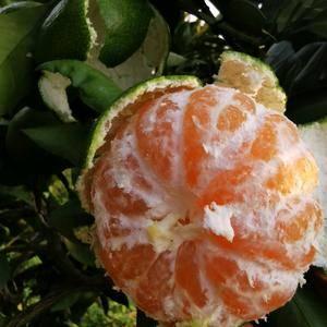 宜昌特早蜜橘皮薄细腻果面干净口感甜蜜,货源充足质量保证诚...