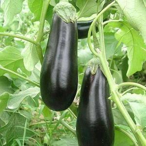 贵州大批量种植无公害大茄子上市了按说她,欢迎有需要的老板前来批...