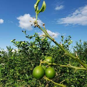 万州柠檬,主产地是中国三大柠檬生产基地之一的万州区白羊镇...