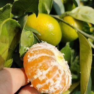 特早蜜橘大量上市中分级 包装 打蜡 物流一条龙服务 产地...
