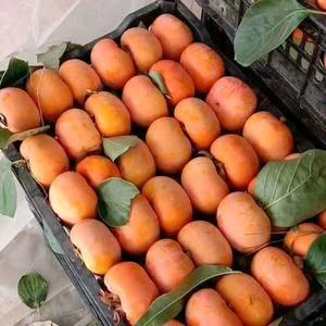 精品脆柿子大量上市。有需要的联系