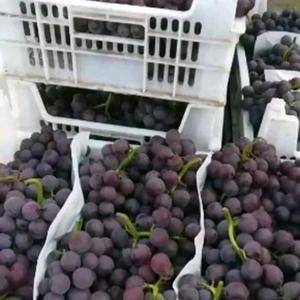 河北威县巨峰葡萄大量供货