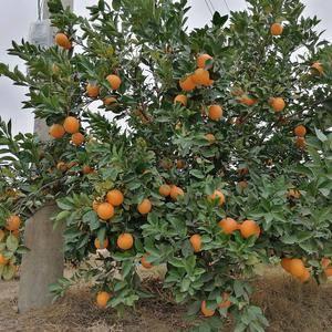 江西省瑞金市自家果园有几十万斤果力飞速,有需要订购赣南脐橙的老...
