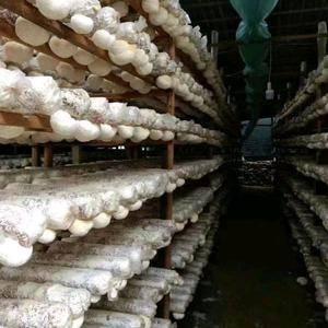 福园林种养殖农民专业合作社种植的猴头菇也大量出菇它改名。有需要...