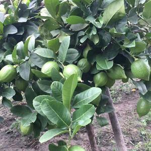 批发四季无籽香水柠檬,柠檬树苗,一年四季都可以供应