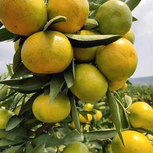 特早蜜桔,农户一手货批发,皮薄肉厚,果汁充分,个头大,果...