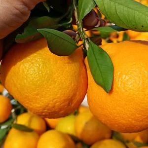 丑橘  不知火,丑八怪大量供应,农户一手货批