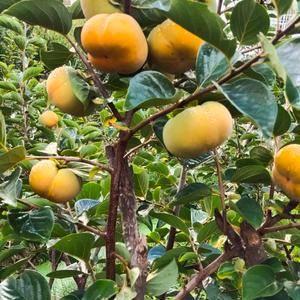 云南保山甜脆柿火热上市中18887547930