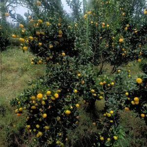 广西金秋砂糖橘,南丰密桔,东方红桔等就要上市,优质的水果...
