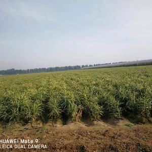 18941783365绥中县万农种植专业合作社  千亩红...