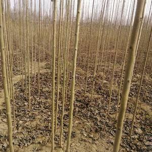 销售杜仲苗 8000亩107速生杨苗圃,20亩紫穗槐苗...
