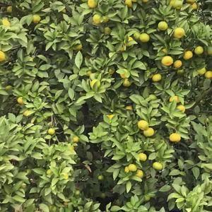 新余蜜橘,千亩果园,产地批发,有意者可实地考查。1387...