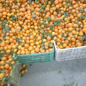 湖北丹江口市桔子已经大量成熟,质优价廉,0.5至0.6左...