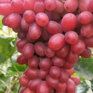 大凉精品葡萄,颜色好,囗感好,耐运输,量大价格便宜。本地...