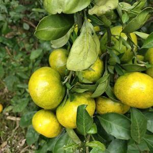 常德早熟柑橘水分充足个头大,大量供应批发