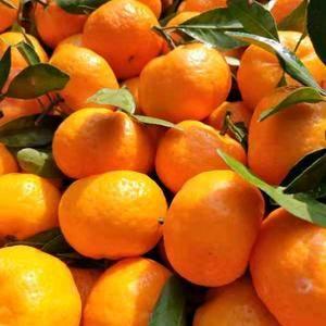 又到了一年吃橘子的季节,南丰密桔现已大量上市,欢迎老板来...