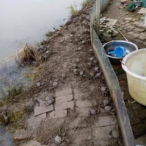 塘口直供青壳白底精品红膏有需要的可以联系