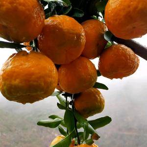 棚柑橘已上市欢迎下单