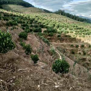 版纳打洛菠萝蜜基地寻求合作[租转]385亩,水电路三通,...