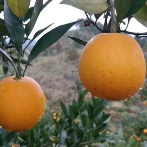 做了橘子很多年了,量大,价格实惠,橘子皮薄又甜,欢迎采购...