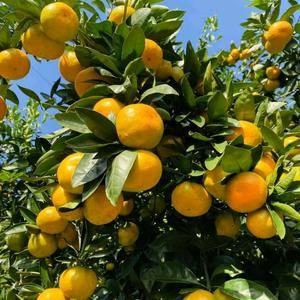 湖北南漳峡口柑橘量大质优,价格实惠,欢迎大家前来选购!