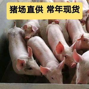 猪场出售三元仔猪本想找,13280563444(微同)长白仔猪...