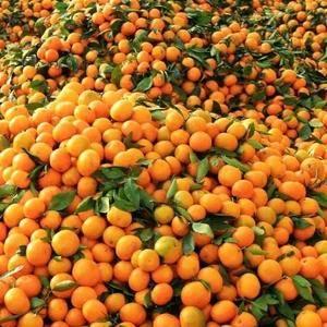 大量橘子寻找货主,地点陕西汉中市城固县老庄镇,已经干了五...
