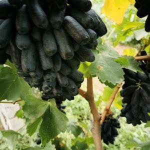 蓝宝石葡萄是新品种成军,长形它完全,5—6厘米长边战斗,果形奇特住口,口感酸...