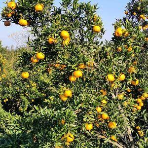 精品碰柑橘子