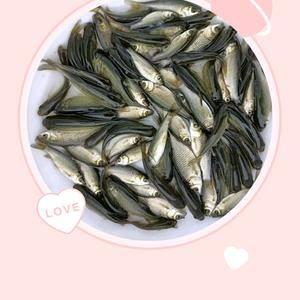 草鱼苗13719111846微信同步广州市增城区福鲳水产...