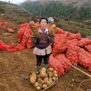土豆种,黄皮黄皮,好吃,产量高,抗晚疫病,好种植