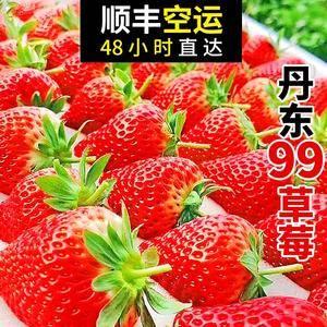 辽宁丹东东港九九红颜草莓迎来草莓季!基地一件代发 今年...