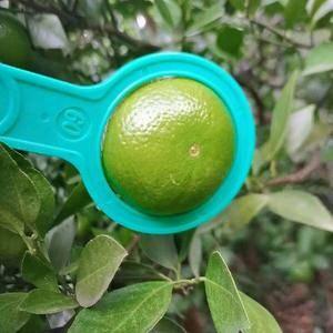 广西沙糖橘梧州产地11月份中旬左右陆续大量上市,有意向的...