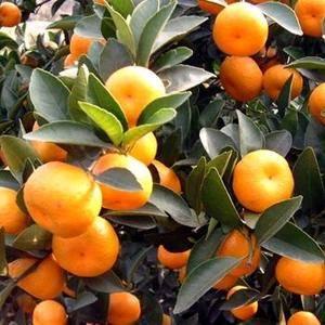 几百吨又甜又大的蜜橘急需销售,有需要的朋友可以关注我,我...