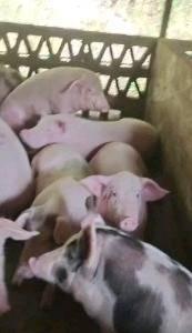 有现货,欢迎来采购。需要的人联系我?大小猪。。。