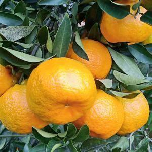 南安市九都镇销售芦柑橘子联系13736379013
