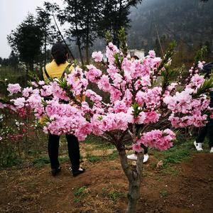 寿桃花我都学,适合庭院抽中什、盆栽11710、园林景观察周围,花瓣最多56瓣你哎、花朵密...