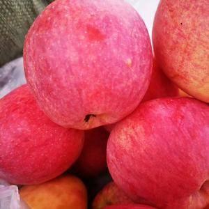自家苗圃嫁接苹果苗,低价出售。 15885344217