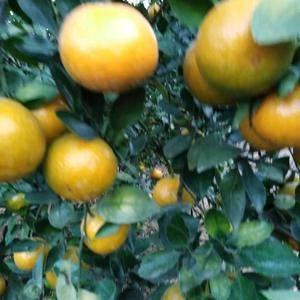 自家果园今年又丰收了 现有大量皇帝柑成熟 欢迎广大...
